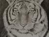 20-tiger portrait